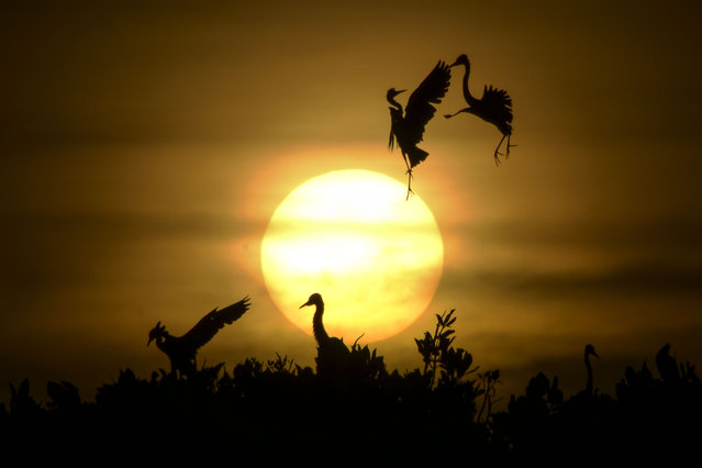 Some Egret birds take a flight as others rest on the top of mangrove trees during sunset at Kajhu beach, in Aceh province on July 1, 2019. (Photo by Chaideer Mahyuddin/AFP Photo)