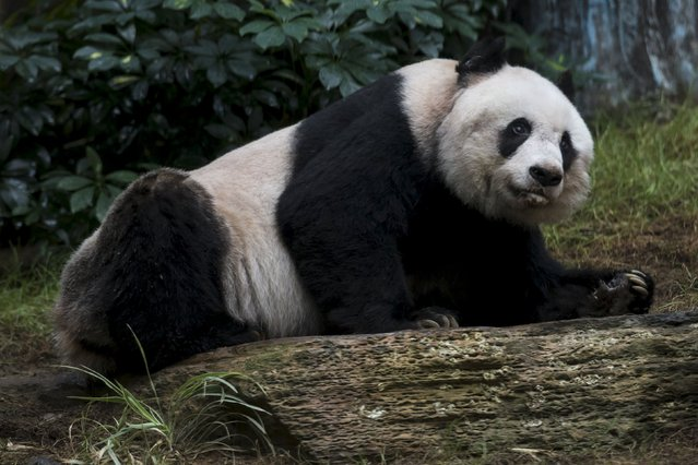 36-year-old giant panda Jia Jia looks on at the Hong Kong Ocean Park, China July 9, 2015. (Photo by Tyrone Siu/Reuters)