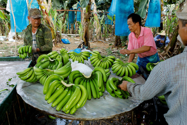 Workers select bananas in a packing line at a banana plantation operated by a Chinese company in the province of Bokeo, Laos April 25, 2017. (Photo by Jorge Silva/Reuters)
