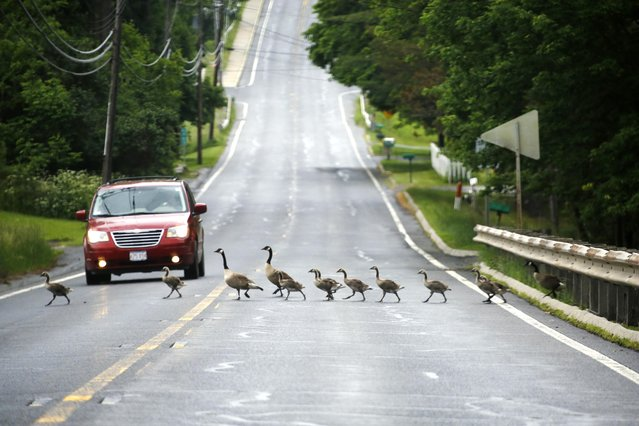 Multiple large families of Canada geese boldly cross Route 41 in Richmond, Mass., Wednesday, June 8, 2016. (Photo by Stephanie Zollshan/The Berkshire Eagle via AP Photo)