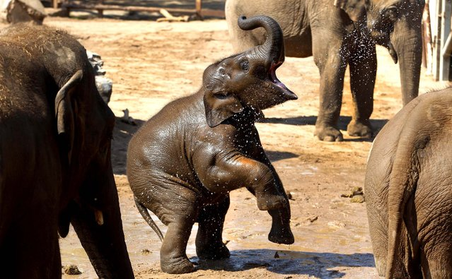 Nayan, an Asian elephant, stands on his hind legs as he is squirted with water by his keepers to keep cool at Chester Zoo, England on May 22, 2012