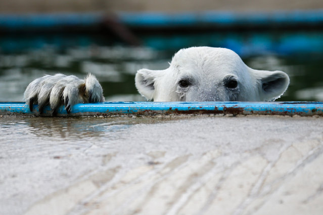 A Polar bear swims in a pool at the center of reproduction of rare species of animals at the Moscow Zoo in the village of Sychevo, Moscow Region on July 24, 2017. (Photo by Maxim Zmeyev/AFP Photo)
