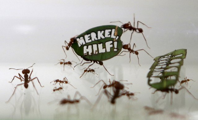 "Ants carry a leaf with a slogan reading ""Merkel, Help!"", a reference of German Chancellor Angela Merkel, at the zoo in Cologne, Germany August 18, 2015. Some of the zoo's 500,000 leaf-cutting ants carry laser-cut leaves with slogans during a campaign to protect the Amazon rain forest, organised by the German branch of World Wild Fund for Nature (WWF) and Cologne Zoo. Picture taken through the glass of the display case. (Photo by Ina Fassbender/Reuters)"