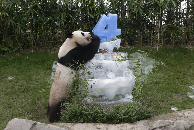 Chinese panda Le Bao bites bread, leaning on a birthday cake made with ice in a celebration for his fourth birthday on July 28, at the Everland amusement park in Yongin, South Korea, Sunday, July 10, 2016. A pair of giant pandas arrived in South Korea on March 3, 2016, following an agenda about panda research cooperation in a meeting between Chinese President Xi Jinping and South Korean President Park Geun-hye in 2014. (Photo by Ahnn Young-joon/AP Photo)
