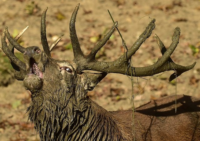 A male red deer, covered in mud, barks  in Richmond Park in south west London, October 3, 2014. Over 600 red and fallow deer roam in the largest of London's Royal Parks, and have their numbers managed in an annual cull each November and February. (Photo by Toby Melville/Reuters)