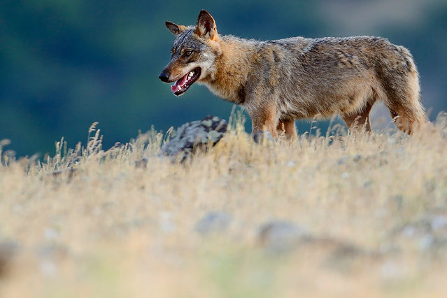 This handout photo released on June 12, 2020 by Rewilding Europe shows an Eurasian grey wolf (Canis lupus) walking at a vulture watching site in the Madzharovo valley, Eastern Rhodope mountains, Bulgaria on May 19, 2013. Across Europe and around the world, stay-at-home quarantines for humans since early March has allowed some animals to recolonise -- or at least revisit – urbanised spaces in which their kind once roamed free. (Photo by Staffan Widstrand/Rewilding Europe/AFP Photo)