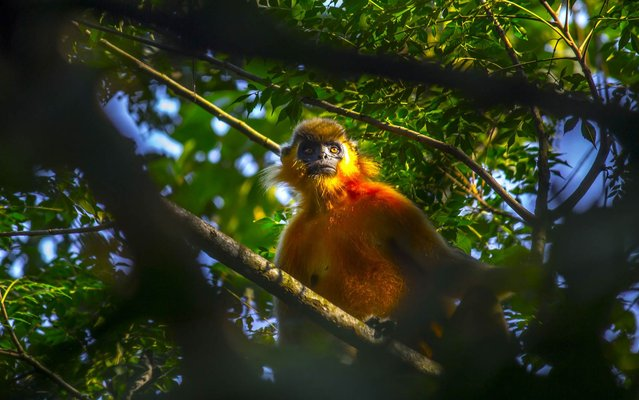 A capped gibbon sits in a tree at the Gibbon Wildlife Sanctuary in Jorhat district in the eastern state of Assam on October 9, 2014. The capped gibbon is one of the most endangered primate species in India. (Photo by AFP Photo)