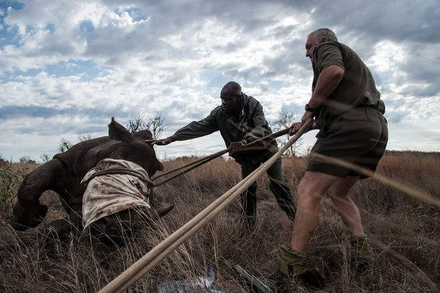 Ben Boloyi (L) and Marius Kruger (R) members of the Kruger National Park Veterinary Wildlife Services in South Africa, gently helps a young sedated white rhinoceros onto its feet on October 17, 2014. (Photo by Stefan Heunis/AFP Photo)