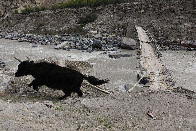 A cow runs after crossing a rope bridge over the glacial Braldu River near the village of Askole in the Karakoram mountain range in northern Pakistan September 12, 2014. (Photo by Wolfgang Rattay/Reuters)