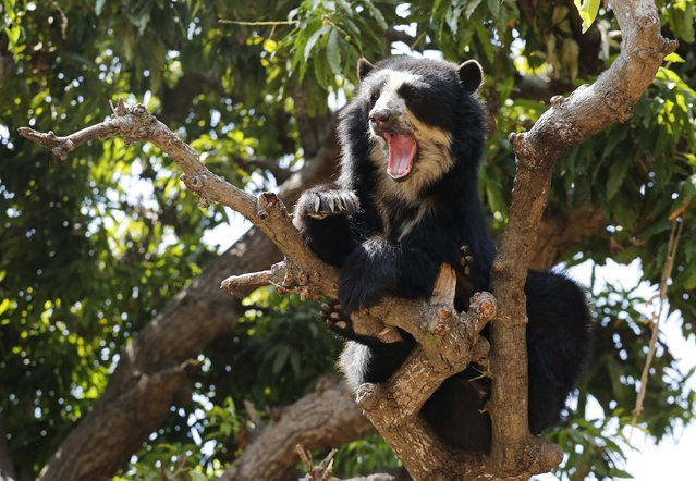 """""""Cholita"""" a Spectacled bear rests on a tree at the dry forest of the Chaparri Natural Reserve in Peru's northern region of Lambayeque October 19, 2014. (Photo by Mariana Bazo/Reuters)"""