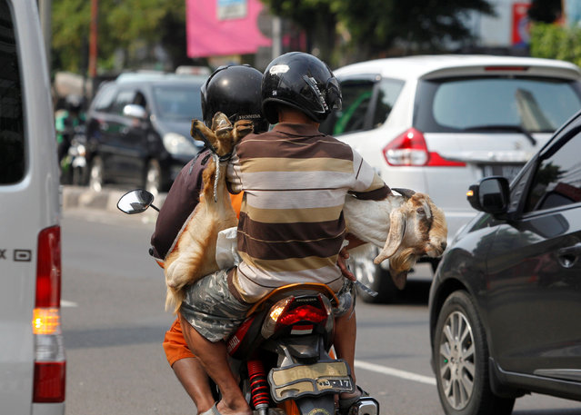 Men carry a goat on a motorcycle ahead of the Muslim Eid Al-Adha holiday in Jakarta, Indonesia September 11, 2016. (Photo by Iqro Rinaldi/Reuters)