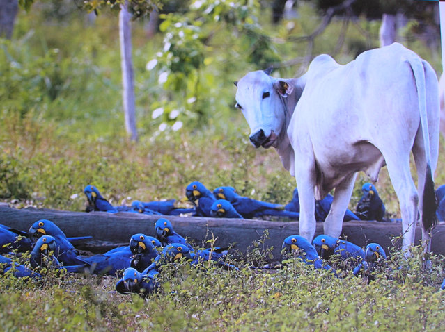 Hyacinth macaws feed near a cow on a ranch in the Brazilian Pantanal. The Pantanal, a vast tropical wetland straddling Brazil's border with Bolivia and Paraguay, is suffering its worst fires in more than two decades. (Photo by Luciano Candisani/Instituto Arara Azul)