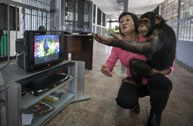 Zoo staff Sholpan Abdibekova and Tomiris, a five-year-old chimpanzee, react as they watch a BBC environmental programme in a primate winter enclosure in Almaty in this March 6, 2015, file photo. A team of scientists tookissue on November 2, 2015, with a study published in February claiming to demonstrate vocal learning in chimpanzees in their food grunts, saying those researchers  offered exaggerated assertions backed by scant evidence. (Photo by Shamil Zhumatov/Reuters)