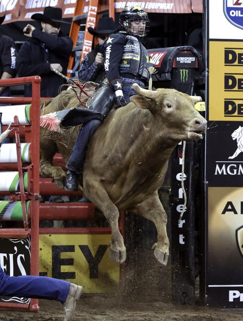 Sean Willingham, from Summerville, Ga., rides Mr. U during the Professional Bull Riders Buck Off, in New York's Madison Square Garden, Friday, January 16, 2015. (Photo by Richard Drew/AP Photo)