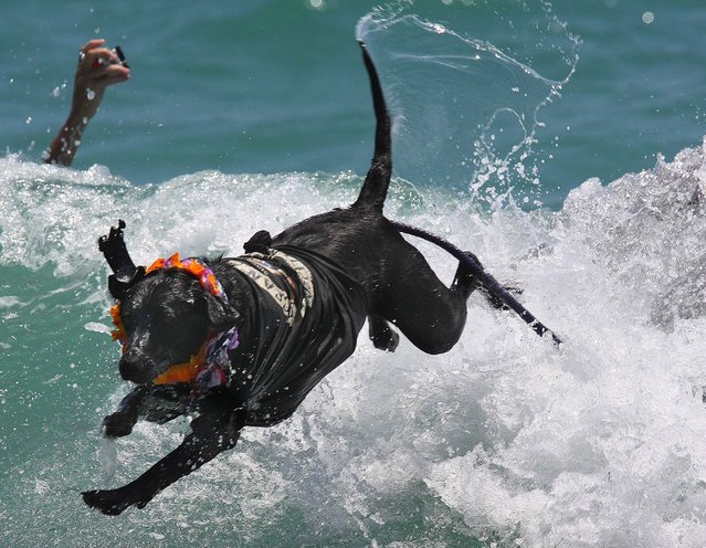 Onyx jumps off a surfboard at the end of his ride. (Photo by Taylor Jones/The Palm Beach Post)