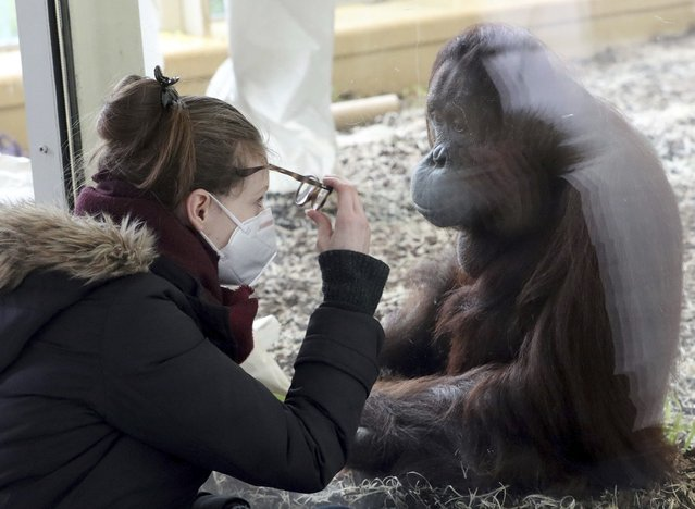 A visitor with a masks observes an orangutan in an enclosure at the Schoenbrunn Zoo in Vienna, Austria, Monday, February 8, 2021. Visitors can visit the zoo again after 97 days lock down. The Austrian government has moved to restrict freedom of movement for people, in an effort to slow the onset of the COVID-19 coronavirus. (Photo by Ronald Zak/AP Photo)