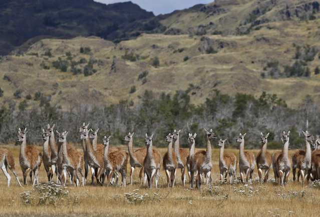 Guanacos stand during a signing ceremony in Patagonia Park, Monday, January 29, 2018. Chile's president signed decrees creating vast new national parks using lands donated by the Tompkins Conservation, in what is believed to be the largest private donation of land ever from a private entity to a country. (Photo by Esteban Felix/AP Photo)