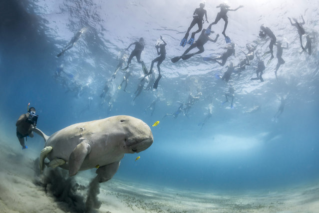 """""""The pull of a dugong"""". Douglas Seifert, USA. When a dugong is feeding in the bay of Marsa Alam, Egypt, snorkellers flock to see it. On this occasion, Douglas found himself watching the snorkelers as more and more of them hassled it until it fled for the open sea. These tourists would undoubtedly agree that without dugongs the world would be a poorer place, but without control of the numbers and behaviour of snorkellers and divers, they only add to the pressure faced by the dugongs, just seven of which are known to live along the 100km coastline. The real problem is urbanisation of the coast, which is destroying the seagrass beds the dugongs depend on. What is urgently needed are. Nikon D800 + 15mm fisheye f2.8 lens; 1/320 sec at f16; ISO 640; Nauticam housing; two INON z-220 strobes. (Photo by Douglas Seifert)"""