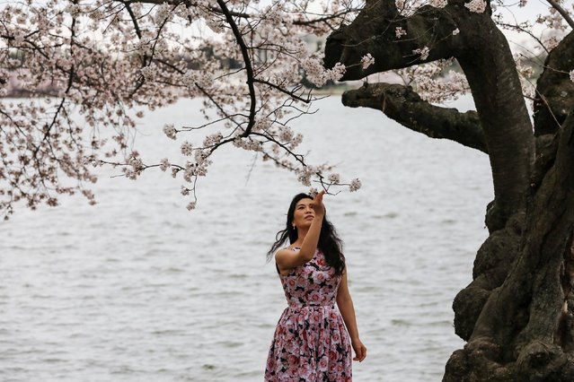 A woman enjoys the warm weather and blooming cherry blossoms by the Tidal Basin in Washington, U.S. March 27, 2021. (Photo by Cheriss May/Reuters)