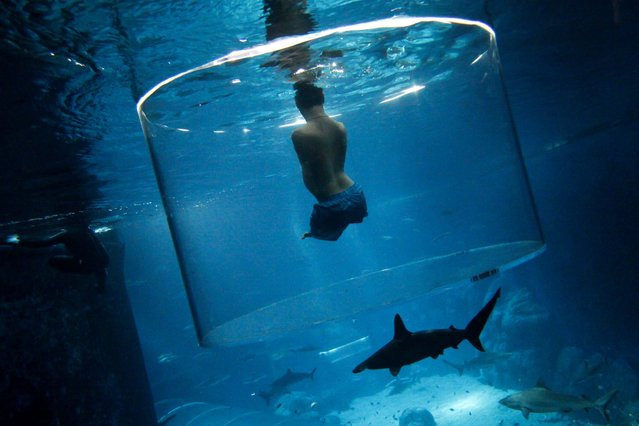 Nick Vujicic, an Australian motivational speaker who was born without limbs, swims with sharks at the Marine Life Park in Singapore, on September 5, 2013. Vujicic dived with sharks in a customized acrylic enclosure that takes in a 360-degree view of the shark habitat at the aquarium. Vujicic is in Singapore to give a motivational talk to a 5,000 people. (Photo by Edgar Su/Reuters)