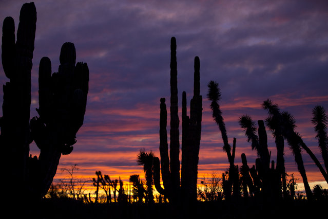 In this March 3, 2015 photo, cacti are silhouetted against a twilight sky in the Valle de los Cirios, near Guerrero Negro, Mexico's Baja California peninsula. Also known as the Valley of the Boojums for the unusual cacti tree that is endemic to the area, it is one of Mexico's largest protected areas. The land is forested with desert flora that looks like it was drawn by Dr. Seuss: Boojums and elephant trees, cardon cacti, and many other types of succulents, as well as a variety of birds and mammals. (Photo by Dario Lopez-Mills/AP Photo)