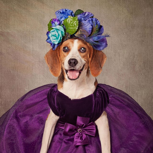 A dog in a purple dress, taken in El Dorado, Arkansas, December 2016. (Photo by Tammy Swarek/Barcroft Images)