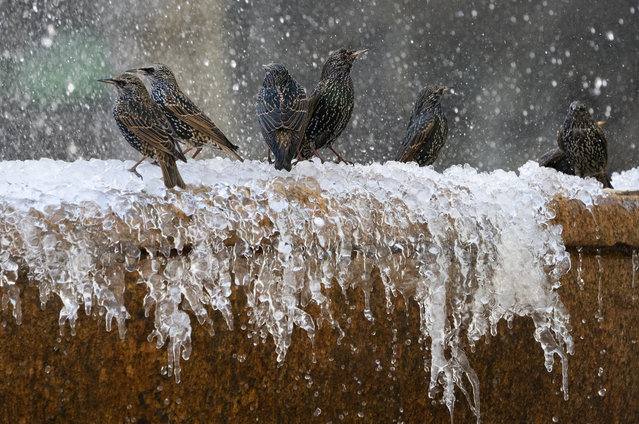Birds play in the frozen fountain in Bryant Park January 11, 2019 in New York. New York City was hit with bitter temperatures and high winds. The low for Friday was 22 Farenheit (–5.5 Celsius). (Photo by Don Emmert/AFP Photo)
