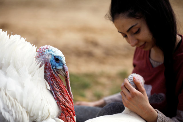 "A turkey, named Yael, sits next to a volunteer at ""Freedom Farm"", which serves as a refuge for mostly disabled animals in Moshav Olesh, Israel on March 7, 2019. (Photo by Nir Elias/Reuters)"