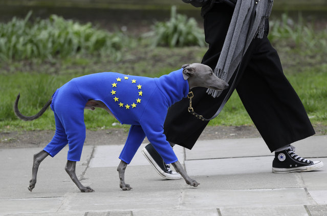 A demonstrator leads a dog wearing a suit in the EU colors during a Peoples Vote anti-Brexit march in London, Saturday, March 23, 2019. (Photo by Kirsty Wigglesworth/AP Photo)
