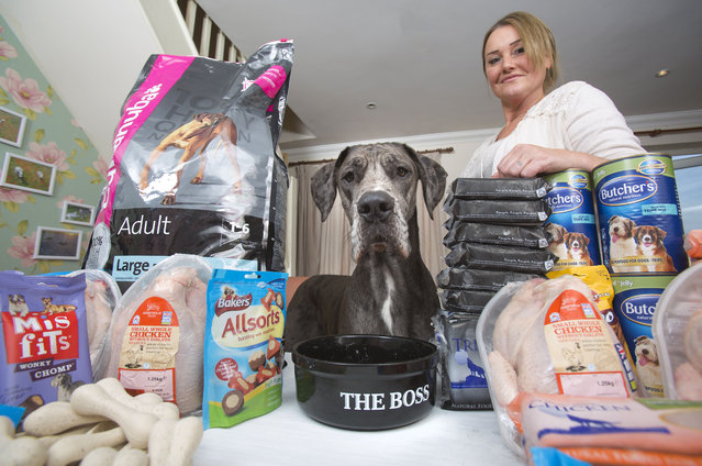 Britain's biggest dog, 18 month old great Dane, Freddy poses for a photograph with the food in kitchen as owner Claire Stoneman looks on in Southend-on-Sea, Essex, England. (Photo by Matt Writtle/Barcroft Media)
