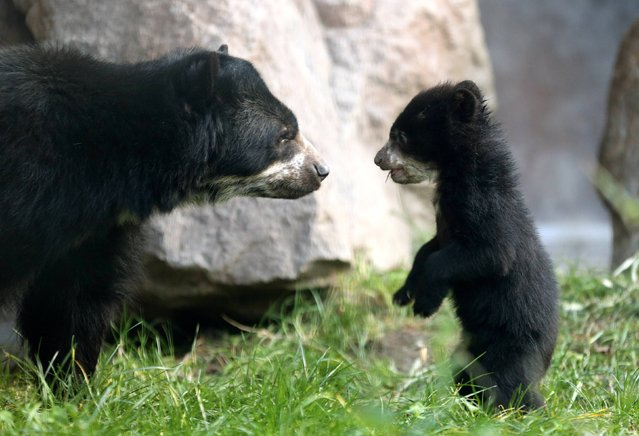 The five-month old  still unnamed  spectacled bear  baby explores the  enclosure with  mother Huanca, left,  at the zoo in Duisburg, Germany, Wednesday February 12,  2014. (Photo by Roland Weihrauch/AP Photo/DPA)