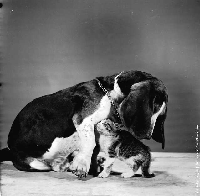 A kitten playing with a basset hound