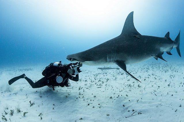 A diver films a hammerhead shark swimming close to the seabed near Bimini, Bahamas. (Photo by Amos Nachoun/Barcroft USA)