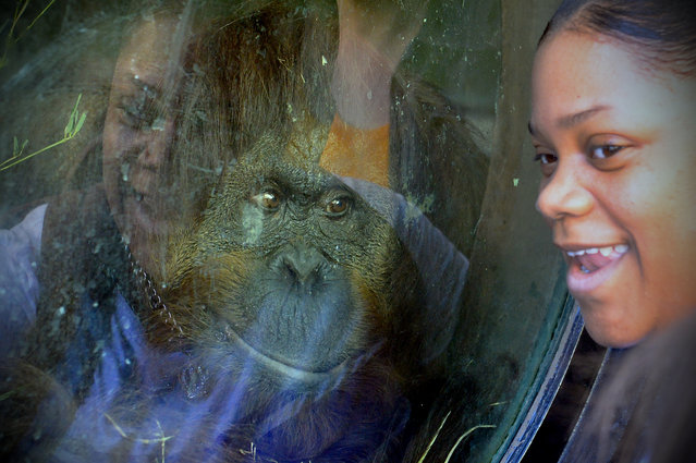 Mia Jones, 28, laughs as an Orangutan gets a closeup look at her Easter Monday at the Smithsonian National Zoo March 28, 2016 in Washington, DC. This was the first time she had been to Easter Monday. (Photo by Katherine Frey/The Washington Post)