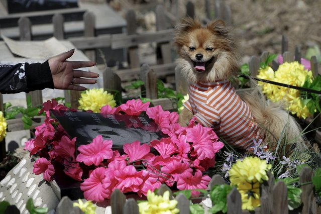 """Pet owner Qingqiu gestures to her dog, Little Huoban, after she swept the tomb of her previous dog Huoban (which means """"Buddy"""" in Chinese) who died at the age of 15, ahead of the Qingming Festival at Baifu pet cemetery on the outskirts of Beijing, China March 26, 2016. (Photo by Jason Lee/Reuters)"""