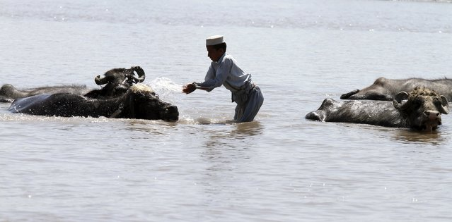 A boy washes his cattle in the Sardaryab River in Charsadda near Peshawar April 8, 2015. (Photo by Fayaz Aziz/Reuters)