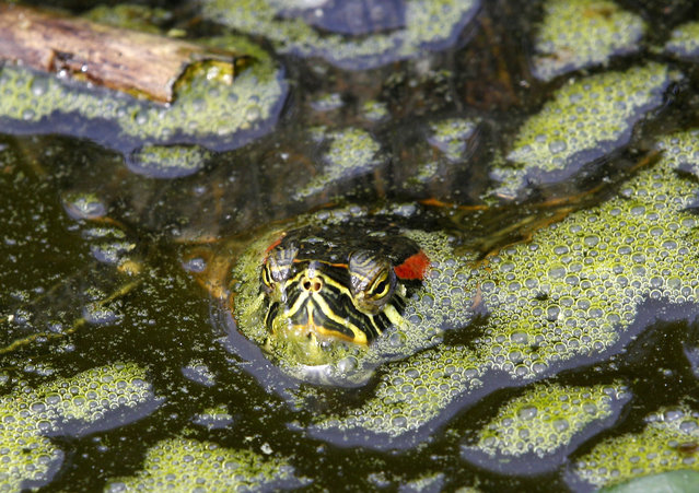 A red-eared turtle swims in the pond of the turtle enclosure during sunshine in the zoo in Duisburg, Germany, Monday, March 31, 20145. (Photo by Roland Weihrauch/AP Photo/DPA)