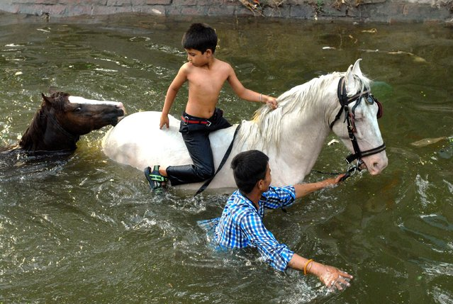 In this photograph taken on May 19, 2015, an Indian horseman and his child cool their horses off in a canal on the outskirts of Jalandhar in the northern Indian state of Punjab. High temperatures hovering around 40 degrees Celsius are affecting much of central and northern India ahead of the summer monsoon rains. (Photo by Shammi Mehra/AFP Photo)