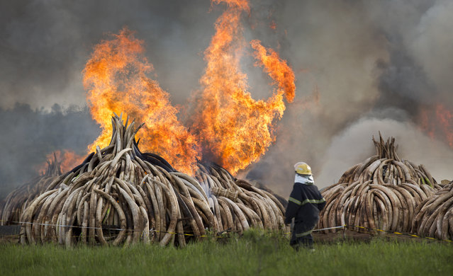 A fireman walks past as pyres of ivory are set on fire in Nairobi National Park, Kenya Saturday, April 30, 2016. Kenya's president Saturday set fire to 105 tons of elephant ivory and more than 1 ton of rhino horn, believed to be the largest stockpile ever destroyed, in a dramatic statement against the trade in ivory and products from endangered species. (Photo by Ben Curtis/AP Photo)