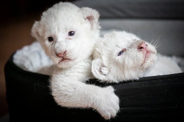"A picture taken on August 11, 2019, shows two white lion cubs laying in their basket at the association ""Caresse de tigre"", at La Mailleraye-sur-Seine, northwestern of France. The two white lion cubs, named Nala and Simba, were born at the end of July 2019 at the association. (Photo by Lou Benoist/AFP Photo)"