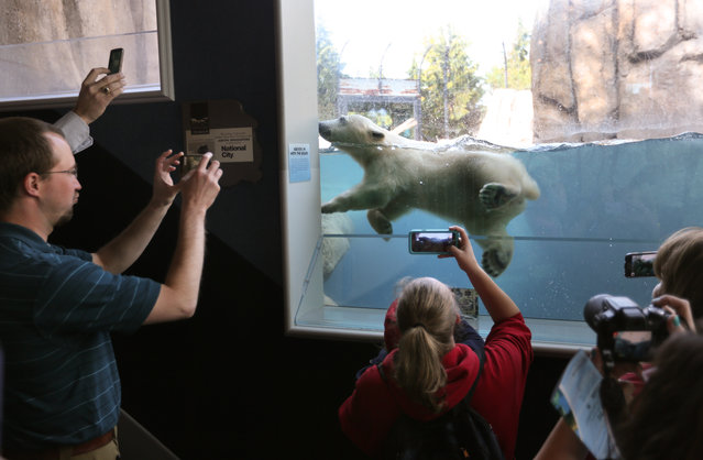 Hope, the new polar bear cub at the Toledo Zoo, makes it's public exhibit debut Friday, May 6, 2016 in Toledo, Ohio. She was born December 3 to a 16-year-old bear named Crystal. (Photo by Dave Zapotosky/The Blade via AP Photo)
