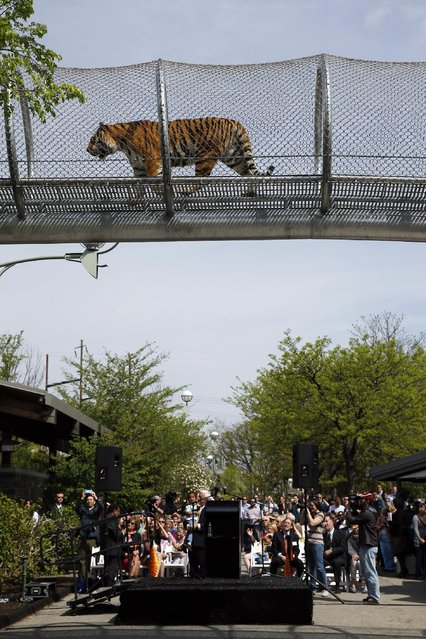 An Amur tiger walks across a passageway after a news conference at the Philadelphia Zoo, Wednesday, May 7, 2014, in Philadelphia. (Photo by Matt Slocum/AP Photo)