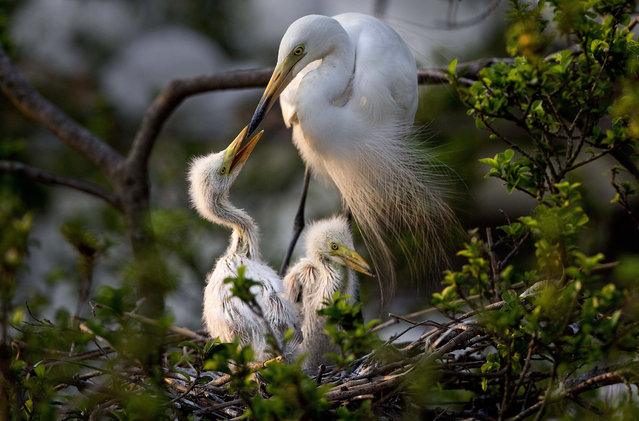 An egret feeds its young sitting on a tree on the banks of river Brahmaputra on the eve of World Environment Day in Gauhati, India, Saturday, June 4, 2016. During this time of the year, hundreds of egrets build their nests in thickly populated trees along the Brahmaputra. The World Environment Day is celebrated on June 5 every year by the United Nations to stimulate global awareness on environmental issues. (Photo by Anupam Nath/AP Photo)