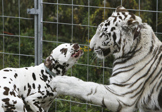 One year-old white tiger Bombay plays with 4 year-old Dalmatian Jack at the Circus William in Berlin October 25, 2008. The two animals lived peacefully together in the same enclosure for a few months. (Photo by Pawel Kopczynski/Reuters)