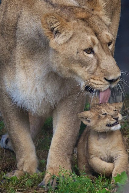 Dublin Zoo is celebrating the arrival of an Asian lion cub, born to mum Zuri and dad Kumar. The birth of this lion cub is very significant for Dublin Zoo and the international breeding programme for this critically endangered species. There are less than 350 Asian lions in the wild. (Photo by Patrick Bolger)