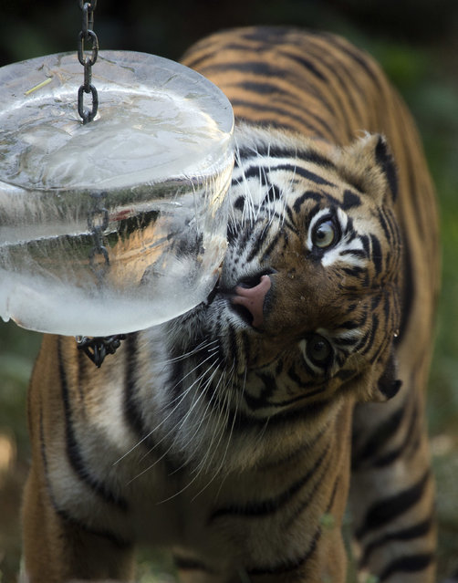 A tiger refreshes with a block of ice containing bits of meat in Rome's Bioparco zoo, Wednesday, July, 13, 2016. Zoo staff offered animals frozen and refrigerated food to refresh them as temperatures are expected to rise over the coming days. (Photo by Andrew Medichini/AP Photo)