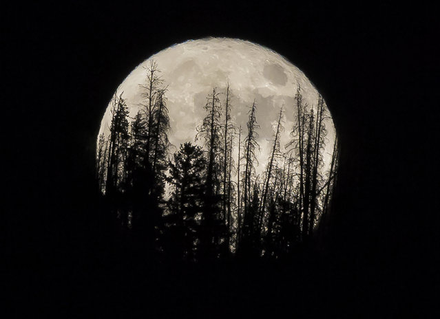 In this November 14, 2016 file photo, evergreen trees are silhouetted on the mountain top as a supermoon rises over over the Dark Sky Community of Summit Sky Ranch in Silverthorne, Colo., Monday, Nov. 14, 2016. A supermoon will rise in the sky Tuesday evening, April 7, 2020, looking to be the biggest and brightest of the year.  Not only will the moon be closer to Earth than usual, it will also be a full moon. (Photo by Jack Dempsey/AP Photo/File)