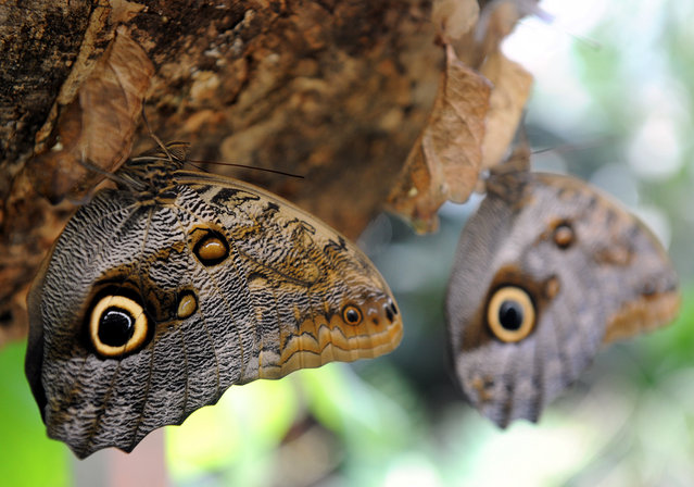 """Two newly hatched owl butterflies hang from their cocoons in one of the green houses of the science center """"Botanika"""" at the Rhododendron Park in Bremen, northern Germany, on September 7, 2012. More than 40 species of butterflies can seen at """"Botanika"""" from September 8, 2012 to March 10, 2013. (Photo by Ingo Wagner/AFP)"""