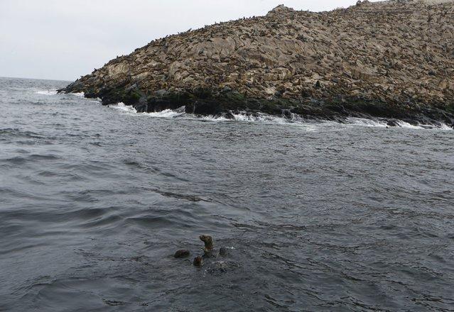 Sea lions Han, Job, Kukin and Fabiana, swim to a sea lion colony at Palomino island, in Callao, Peru September 12, 2015. (Photo by Mariana Bazo/Reuters)