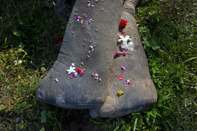 Villagers offer flowers to a wild tusker, laying dead in a field in Panbari villagein Panbari village on the outskirts of Gauhati, India, Thursday, November 2, 2017. According to a veterinarian the tusker died of food poisoning. Scarcity of food and illegal encroachment of forest areas have forced these wild elephant to move to populated areas for food. (Photo by Anupam Nath/AP Photo)